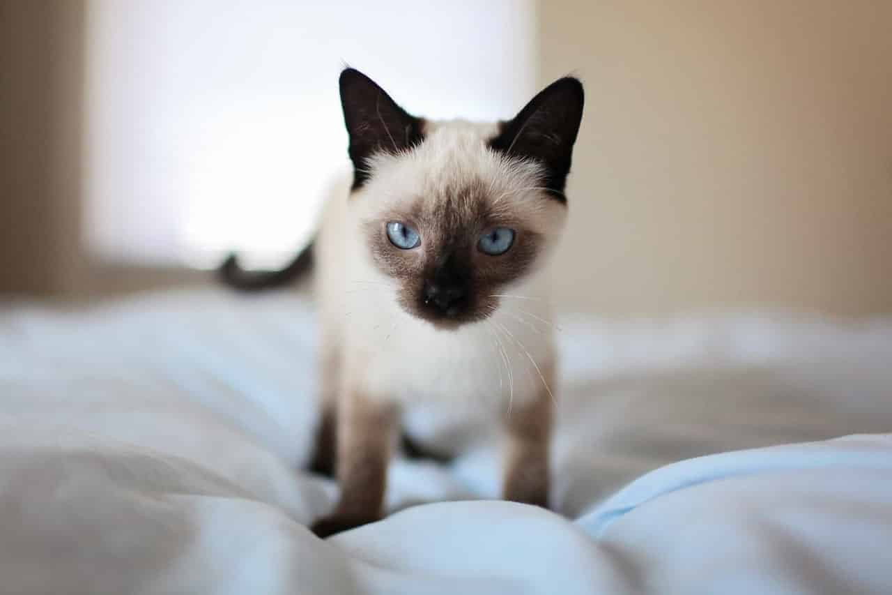 How Long Do Siamese Cats Live