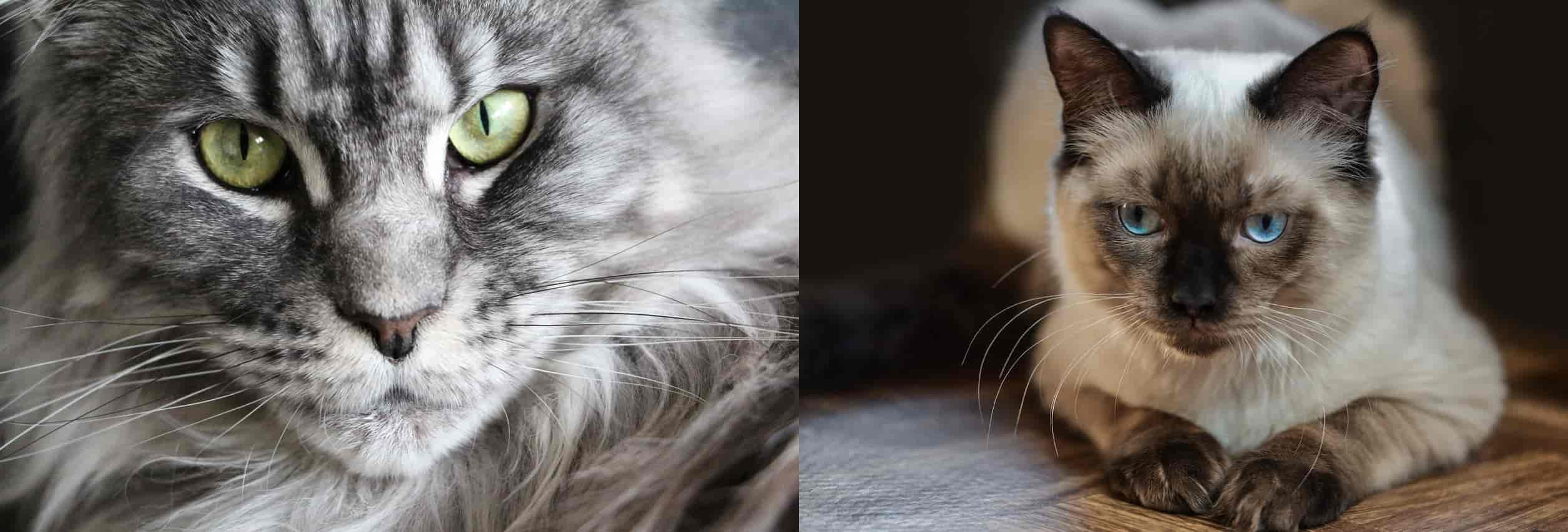Maine Coon vs Ragdoll Differences