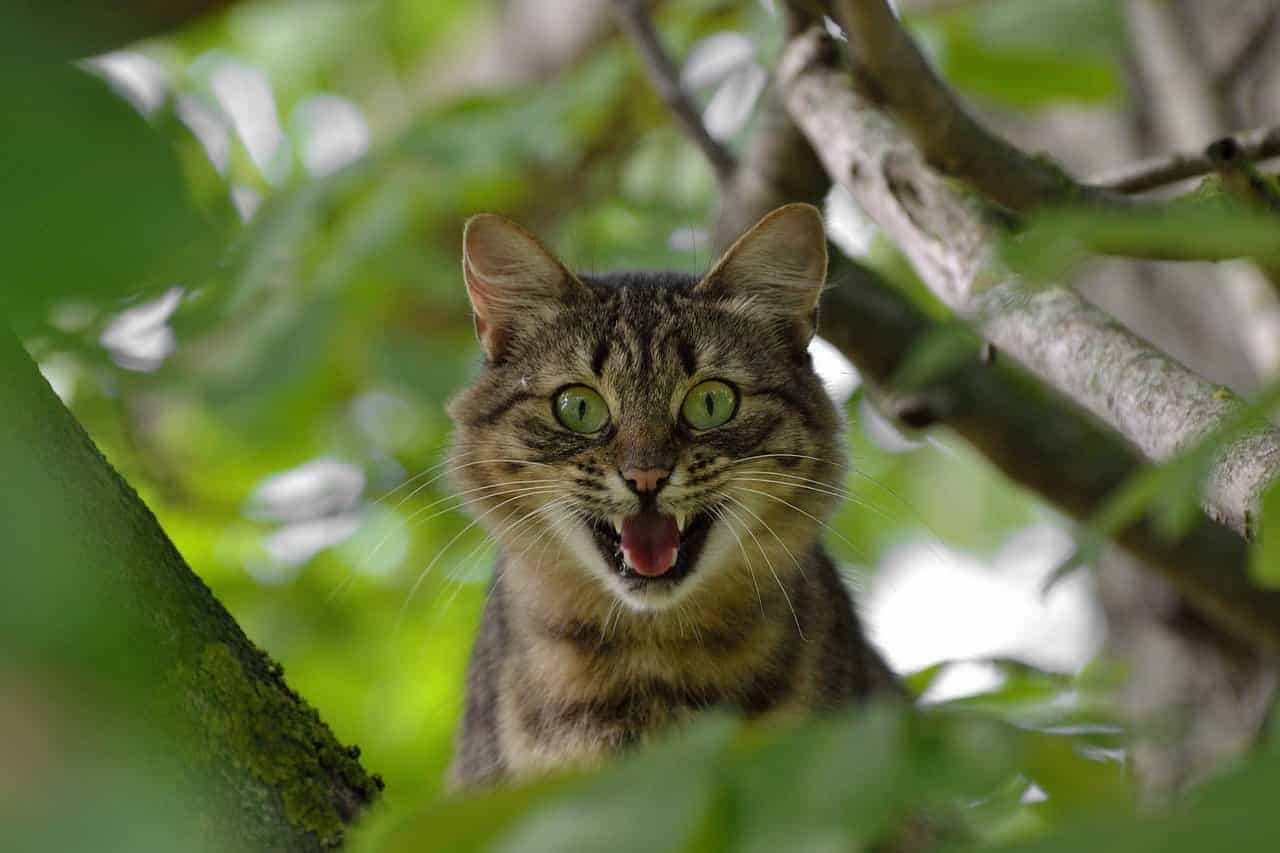 are maine coon cats aggressive