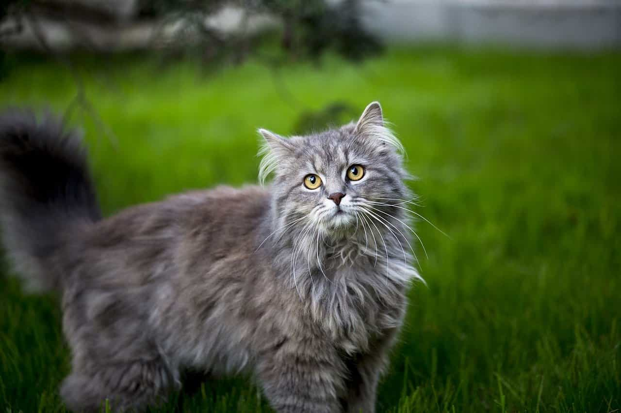blue maine coons - a complete guide