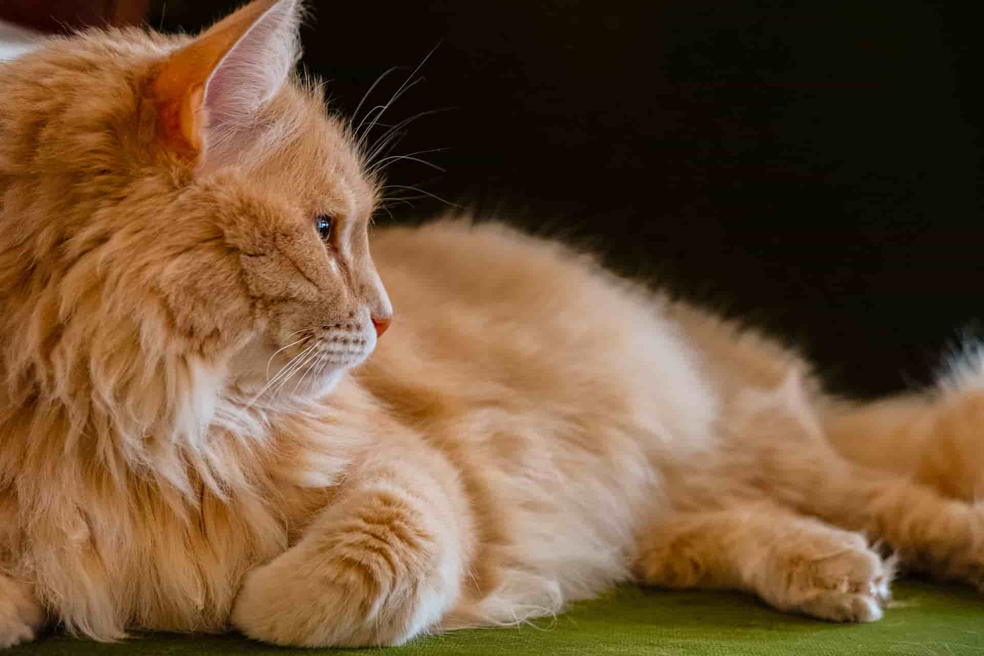 how much do orange tabby cats cost