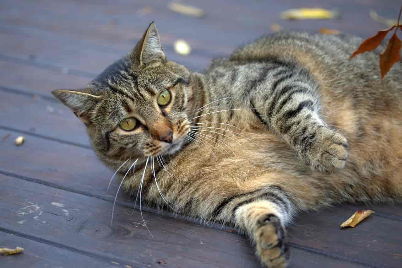are tabby cats usually fat