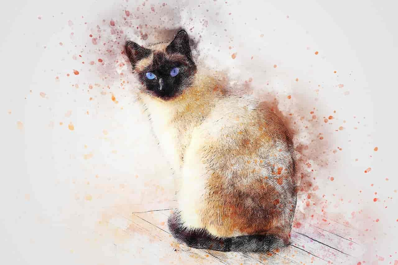 Do Siamese Cats Change Color Answer Might Surprise You