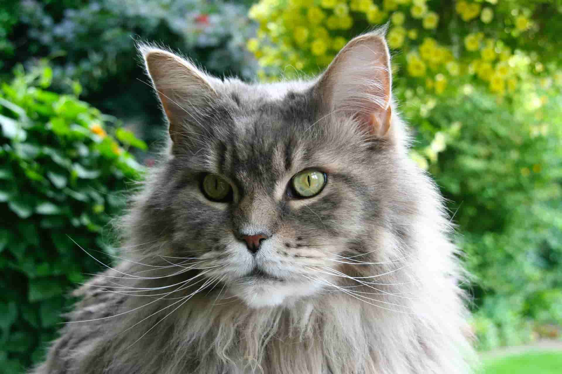 do maine coon cats shed