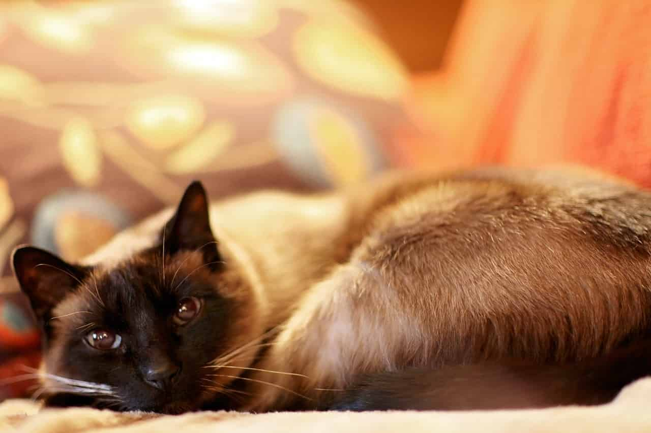 do siamese cats get cold easily