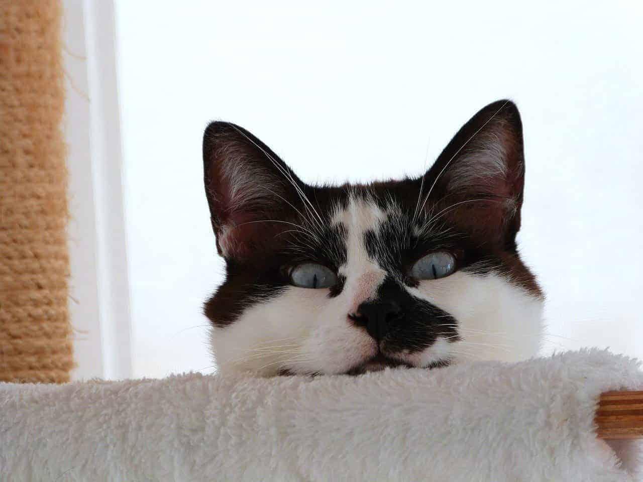 are siamese cats aggressive
