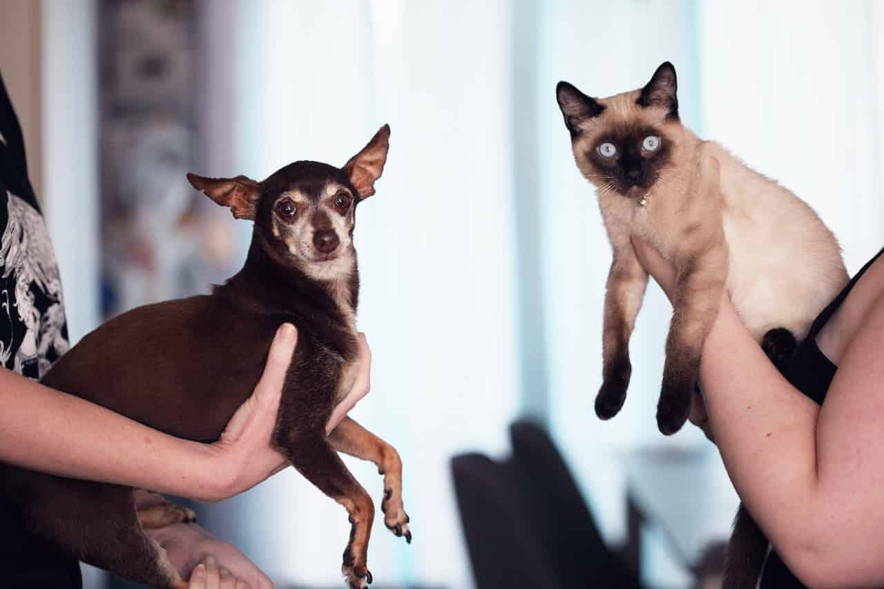 do siamese cats have a favorite person