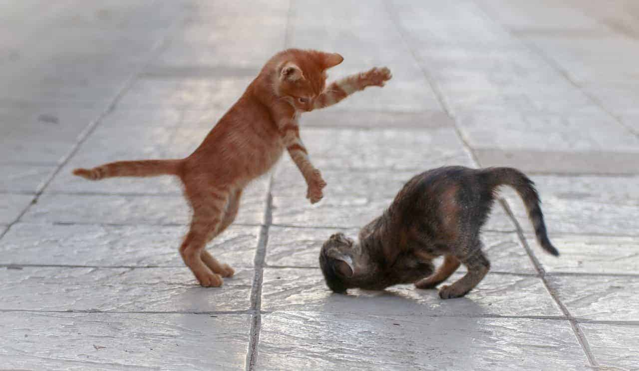 why do cats smack each other