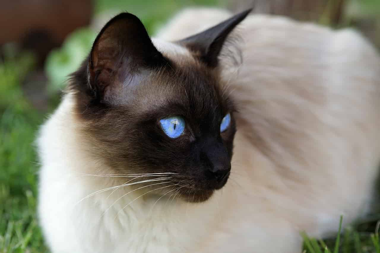 how often should you bathe a siamese cat