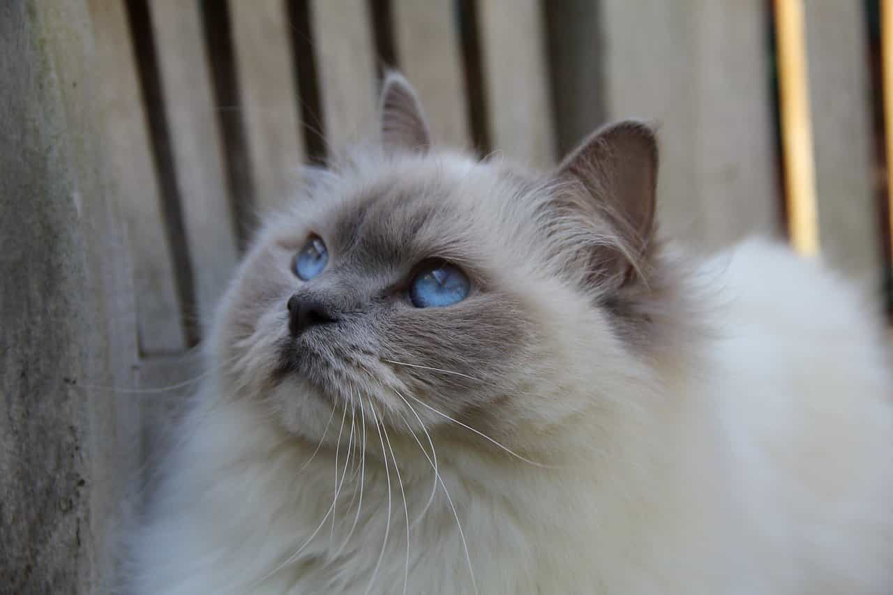 Are Ragdoll Cats Easy To Train?