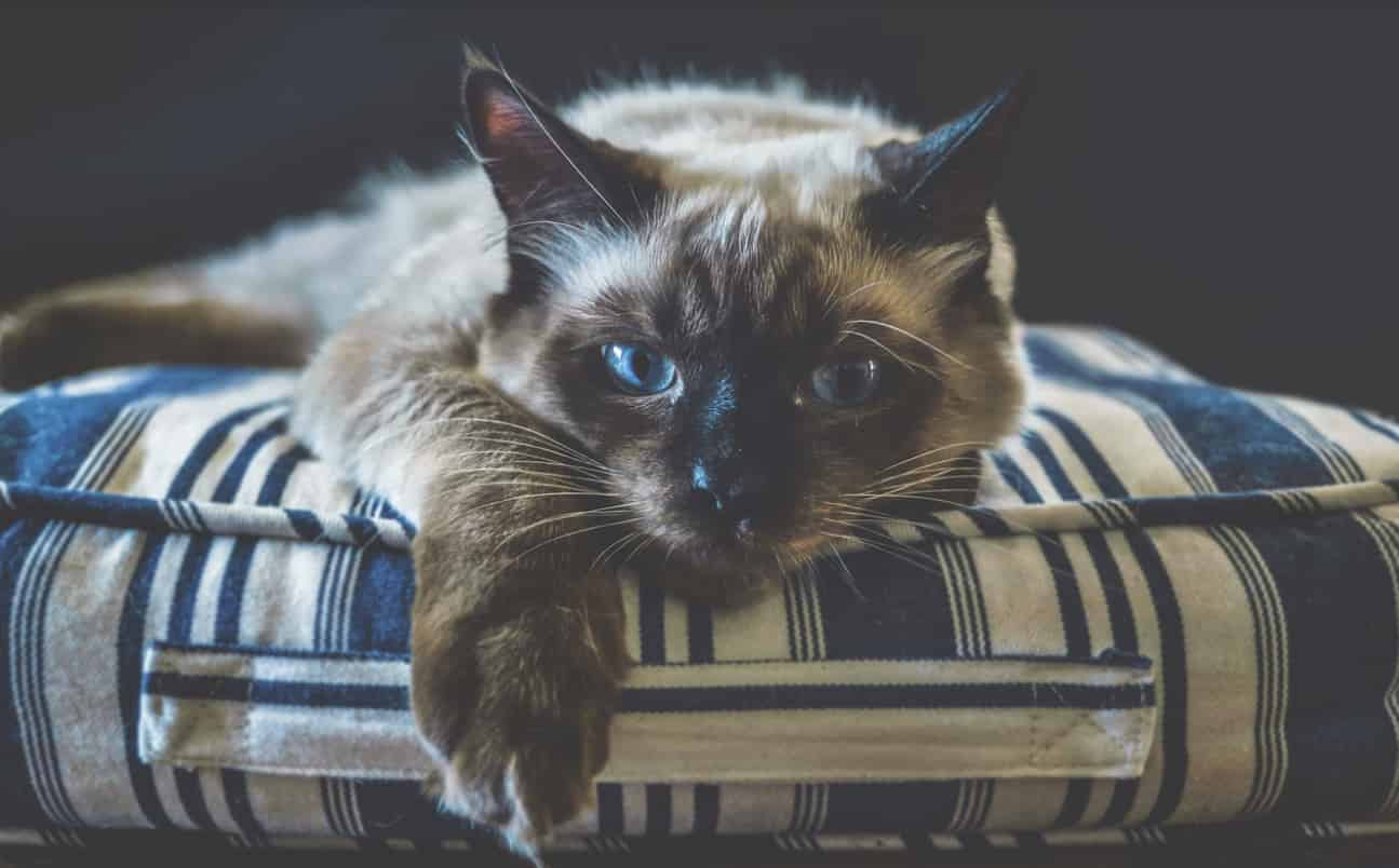 can ragdoll cats be left alone during the day
