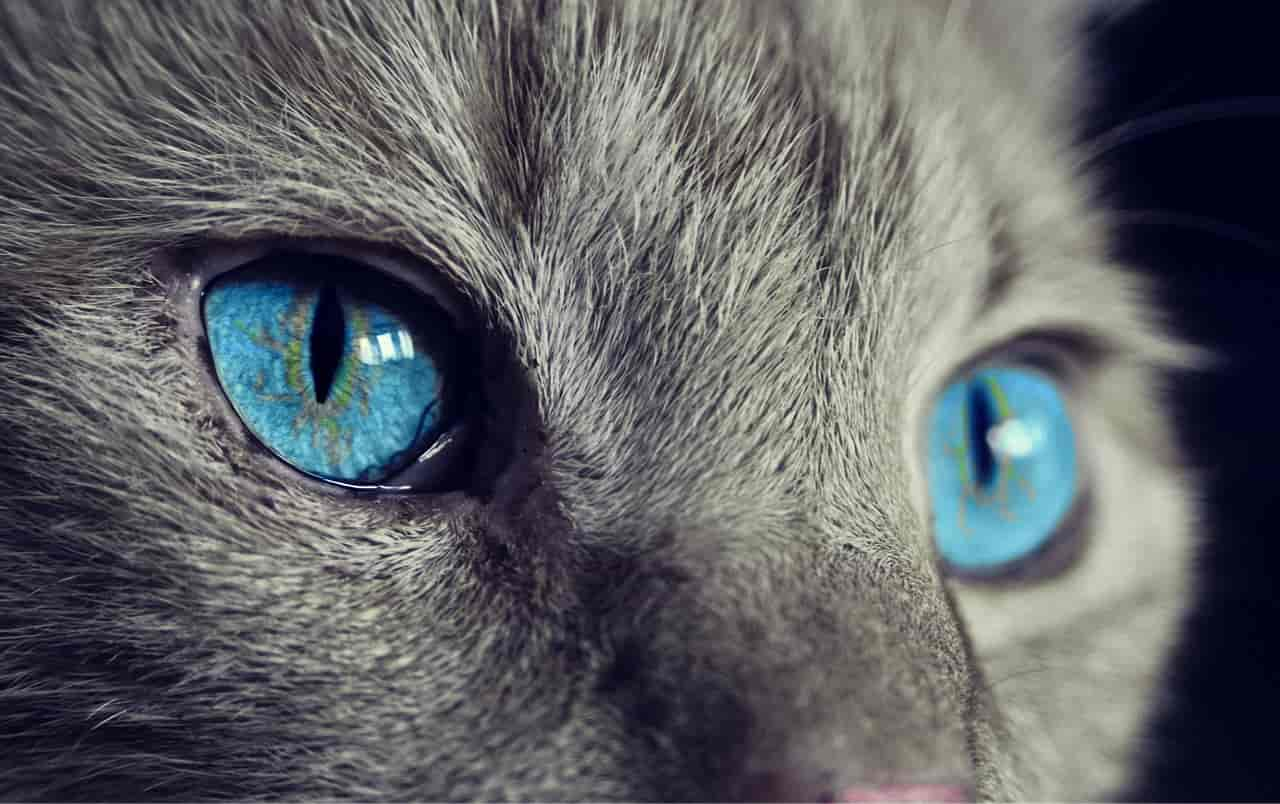are siamese the only cats with blue eyes