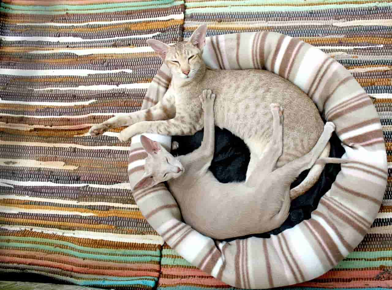 do siamese cats do better in pairs