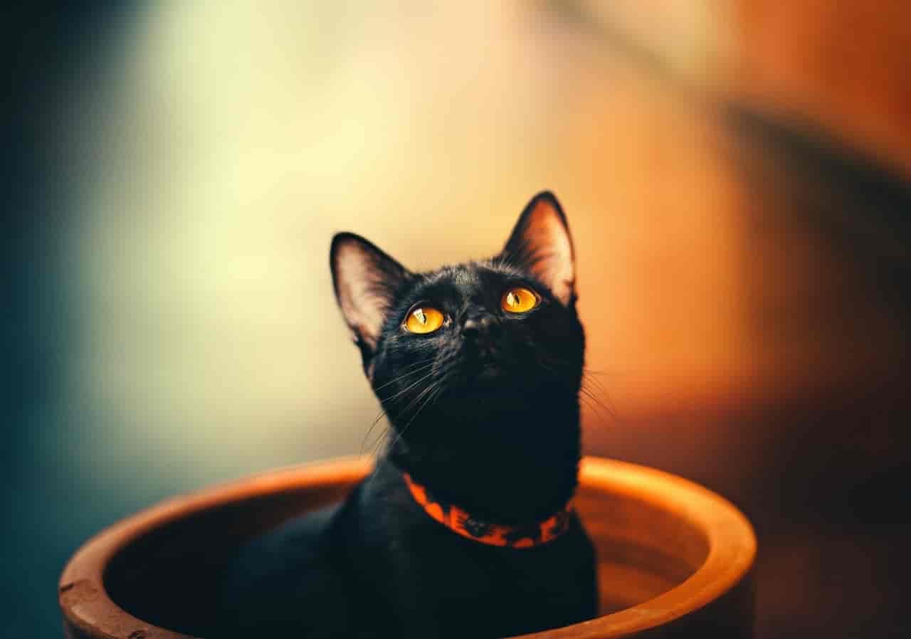 black siamese cat
