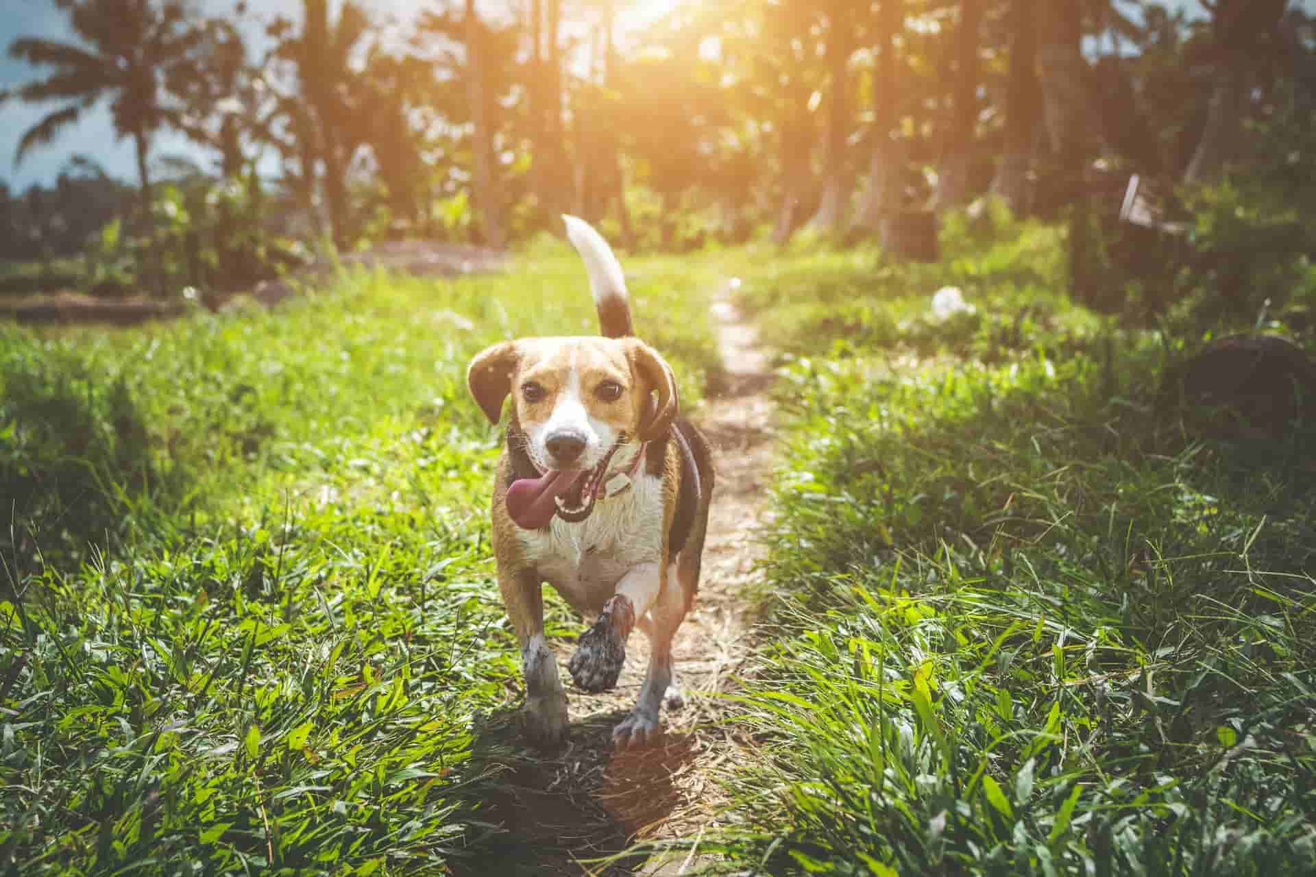 how do i know if my beagle is overweight
