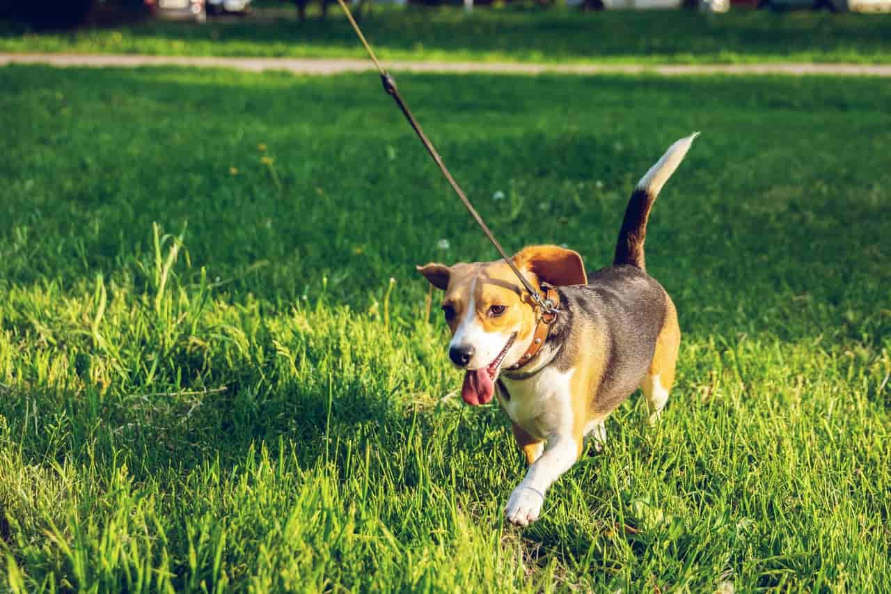 how fast can a beagle run