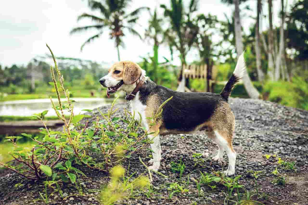Male Or Female Beagle For Hunting