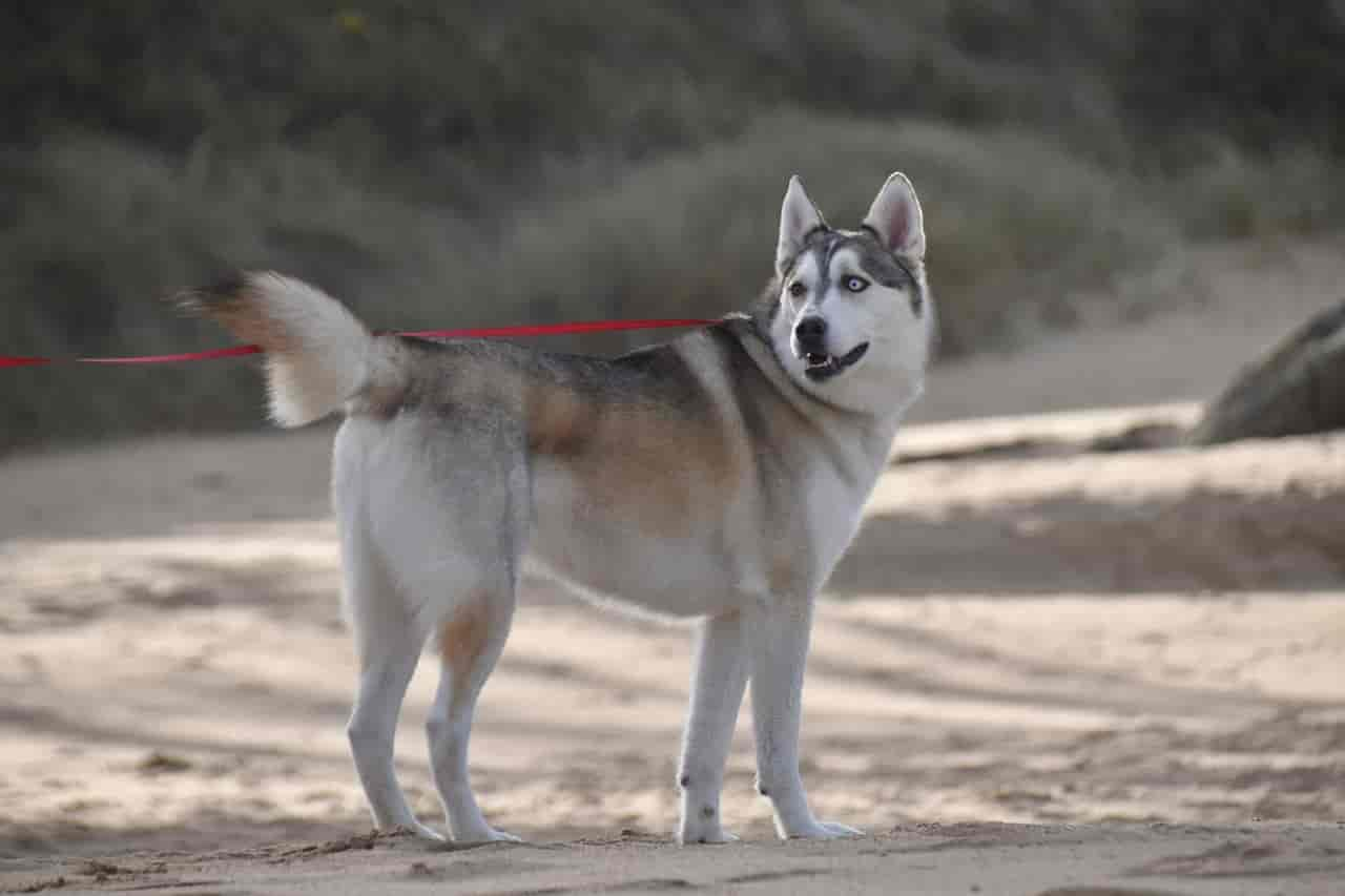 why are huskies so weird