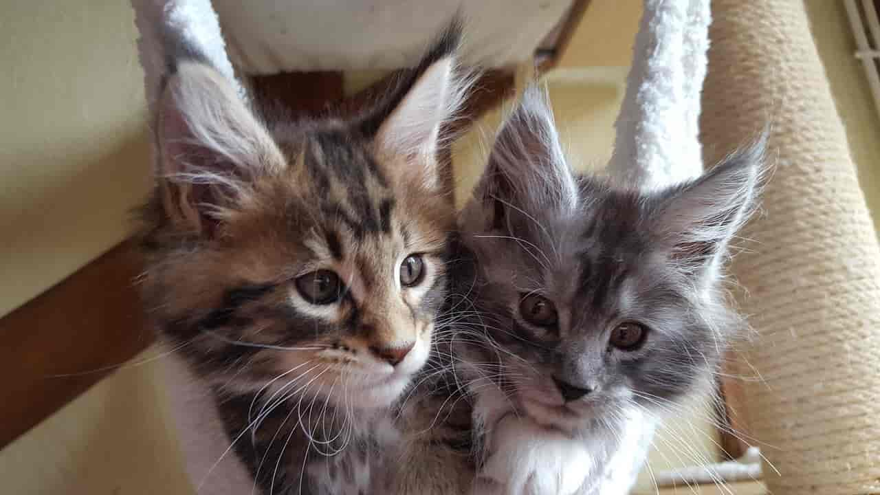 male vs female maine coons