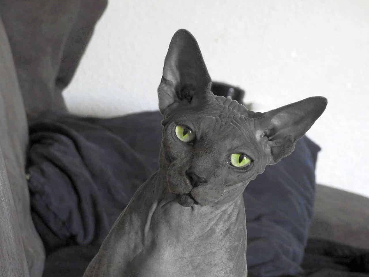 why are sphynx cats hairless
