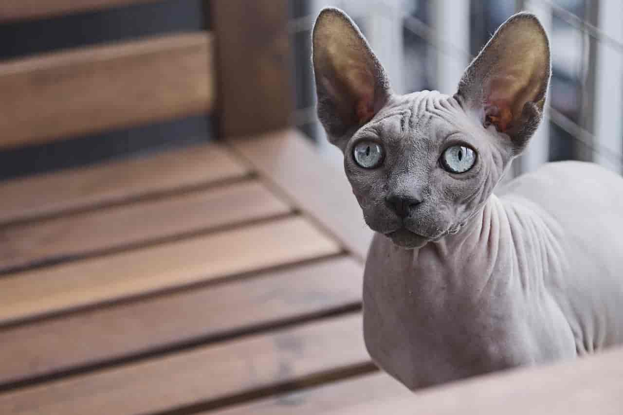 Sphynx Cat Care Products