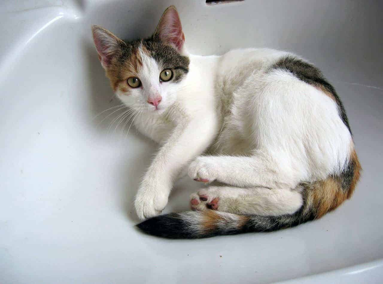 why does my cat pee in the sink