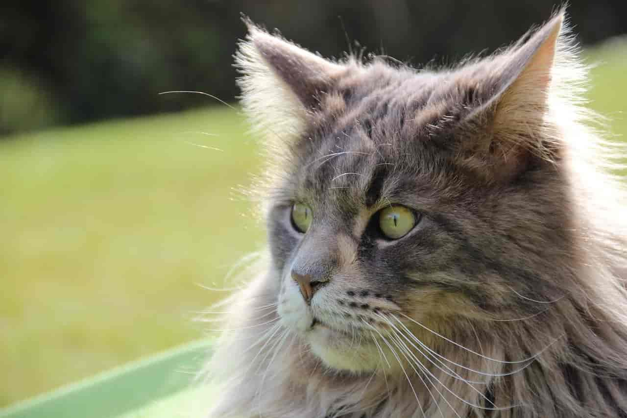 why are maine coons so popular