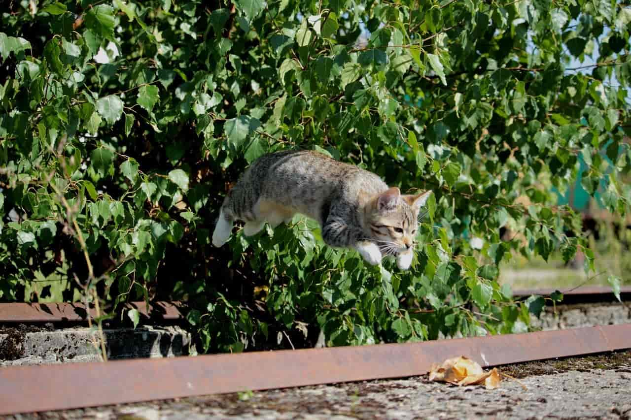 How High Can Maine Coons Jump