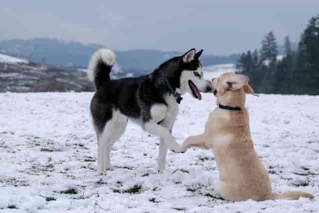 dogs that get along with huskies