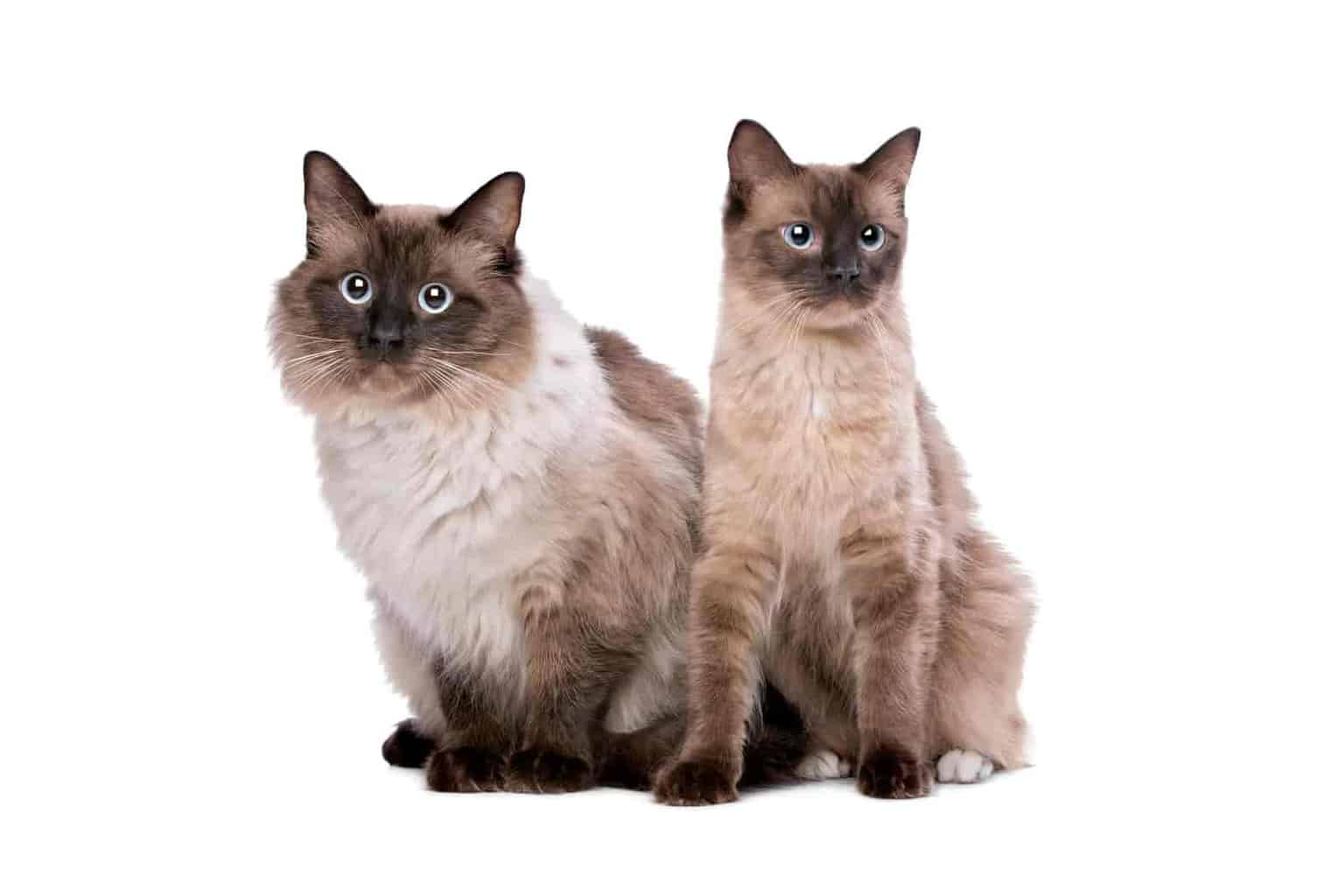 How do I know if my ragdoll is purebred