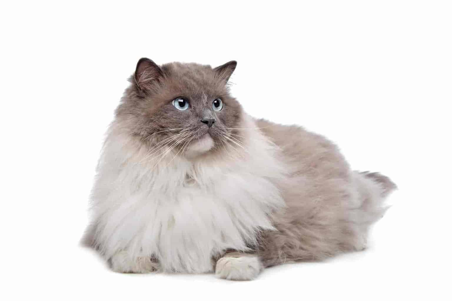 Do ragdolls get fluffier with age
