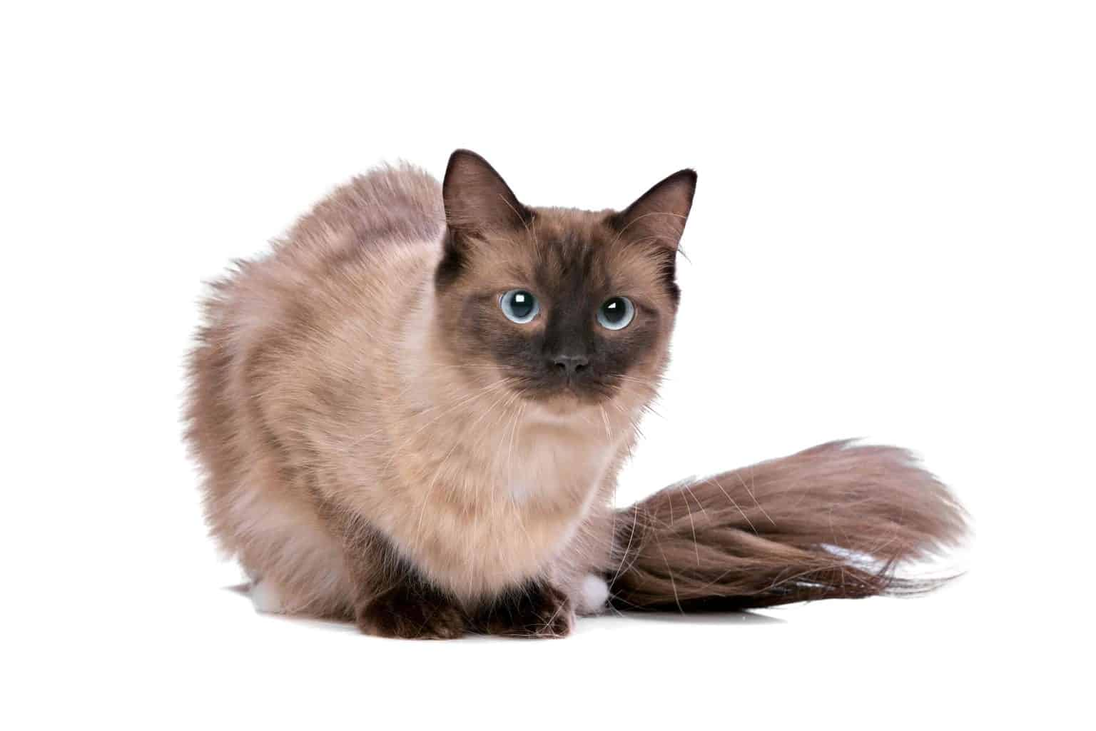 Why do Ragdoll cats have to stay indoors