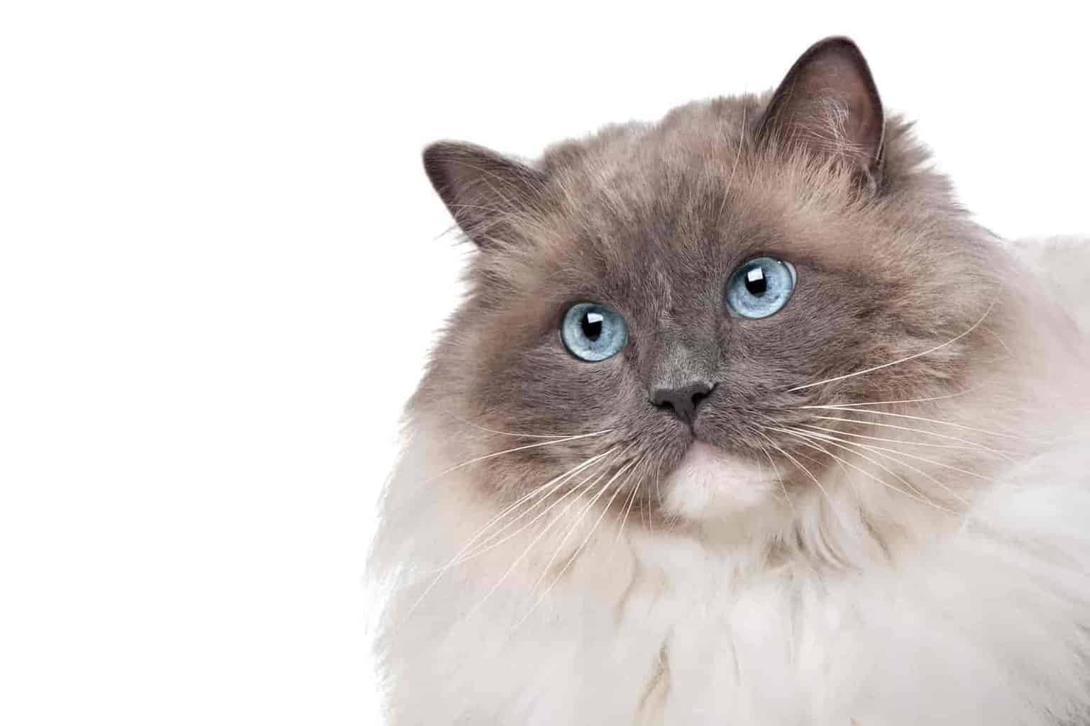 How much attention do ragdolls need
